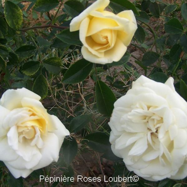 rosier aimée vibert